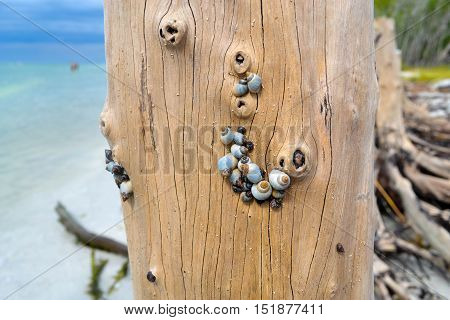 Snail shells attached to a tree on the beach.