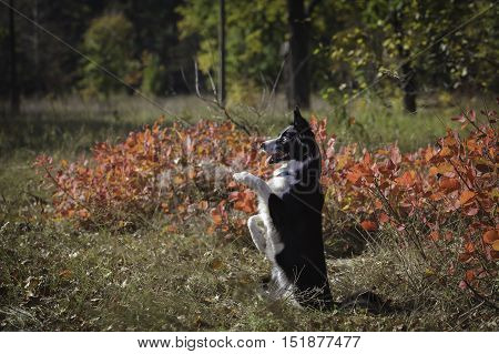 Border Collie On A Walk In The Park