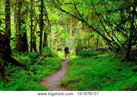 Hiker on a Trail Through Vibrant Rainforest.  The Hoh Rainforest, Olympic National Park, Washington.