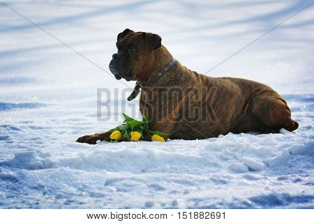 intelligent dog breeds brindle boxer lies in winter on snow with flowers tulips. The concept of the idle spring