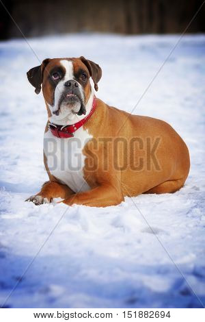 red dog breed boxer in protruding teeth lies the winter snow smart pet in the classroom for training