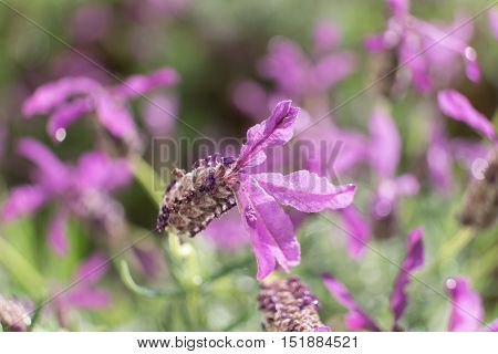 Macro closeup of lavender flower with shallow depth of field.
