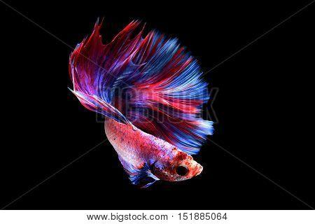 Betta fish or Siamese fighting fish on black background