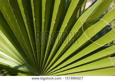 Washingtonia filifera background. Stripped palm leaf with filament