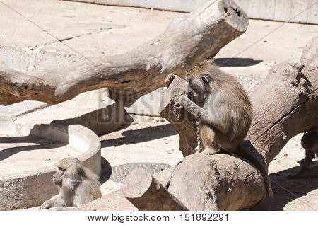 Yellow baboon, Papio cynocephalus. It is a baboon from de Old World monkey familiy. It inhabits savannas and light forests in the eastern Africa.