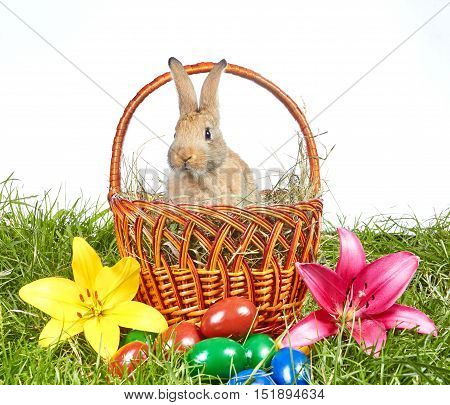 Rabbit peeking out of the basket near colored eggs