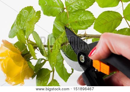 Cutting a yelow rose on a white background