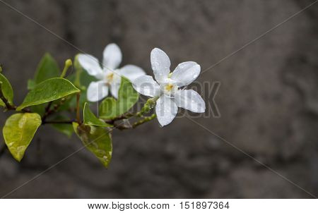 White tropical flower under rain. Exotic bloom macro photo. Green leaf and white flower with water drops closeup. Fresh natural image for  card or banner template. Garden botany