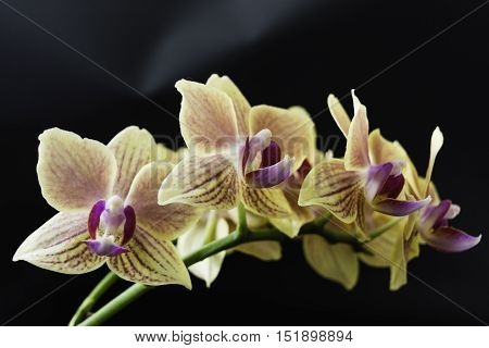 Orchid in full bloom on the table