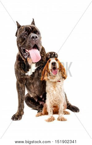 Cane Corso dog sitting with a paw on the head of Russian spaniel isolated on white background