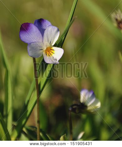 Viola tricolor, Also known as Johnny Jump up