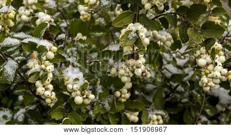 White berries. White berries under the snow. Autumn landscape. First snow. Autumn background.The background for the text.