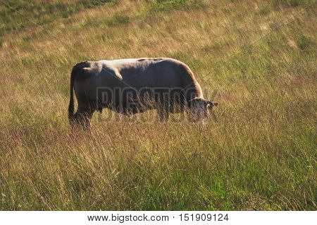 Big brown cow is grazing in the grass.
