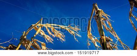 Corn crop in rural Prince Edward Island