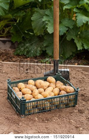 Harvesting Potatoes. Fresh Potato In Plastic Box With Spade Outdoor In Summer Season. Fresh Young Potato.