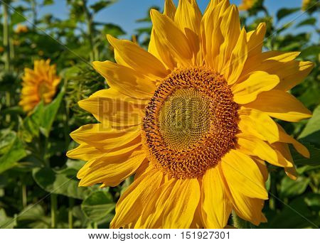 Field of sunflowers. Composition of nature. Photographed in the  Siberia, Russia.