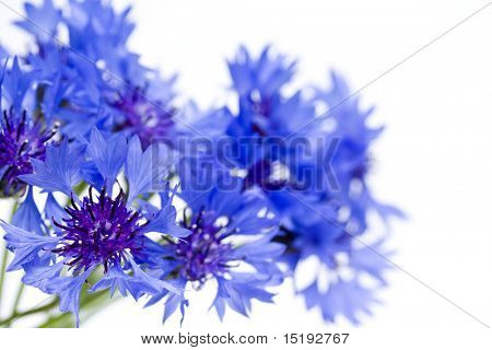 blue spring cornflowers (Centaurea Cyanus) against white background