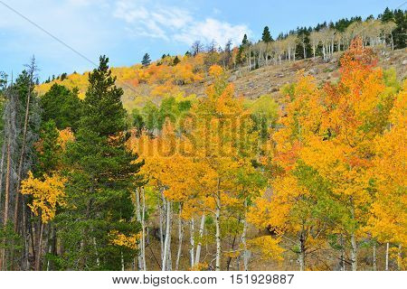 Golden And Green Aspen In The Fall Season