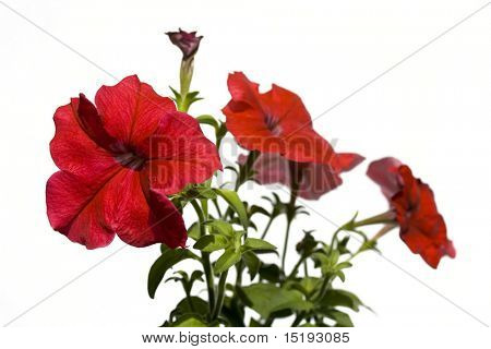 red petunia flowers against white background