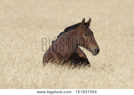 Wild mustang at rest in dry grasses of Utah's Onaqui Herd Management Area. Red chestnut coat accented by black mane. Feral horses are managed by federal Bureau of Land Management.