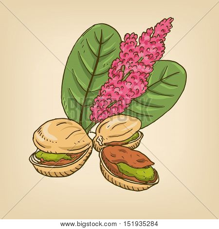 Pistachio nuts with leaves. Vector illustration. Hand drawn illustration.