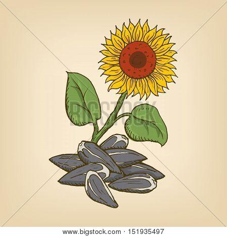 Sunflower and seeds. Vector illustration. Hand drawn illustration.