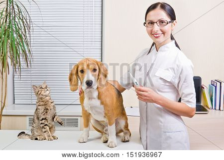 Veterinarian, Beagle dog and cat Scottish Straight