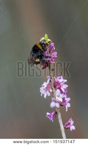 bumblebee on blooming toxic daphne mezereum twig selective focus.