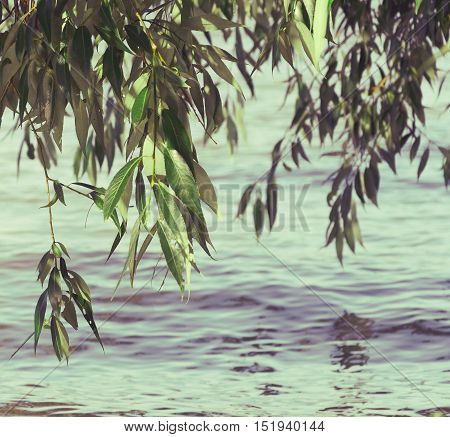 leaves of a willow tree hanging above the Tisza river in Hungary. rippling water. vintage landscape. summer season scene.
