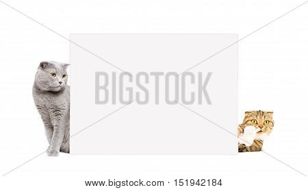 Two cats Scottish Fold peeking from behind a poster, isolated on white background