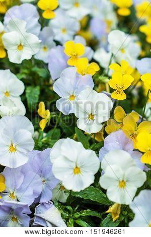viola flowers