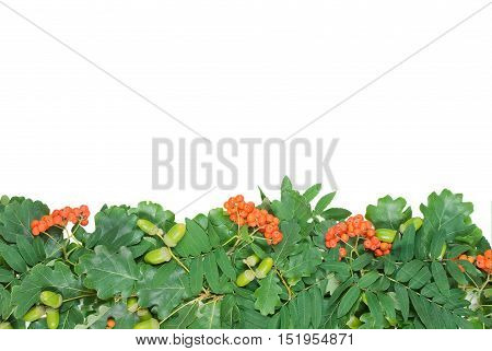 green border of oak leaves and acorns and berries of mountain ash