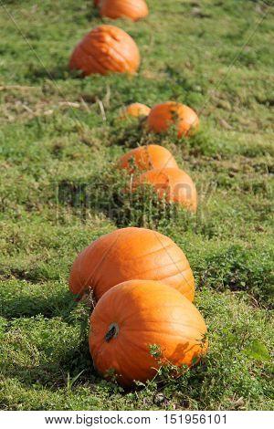 A Row of Orange Pumpkins Growing in a Farmers Field.
