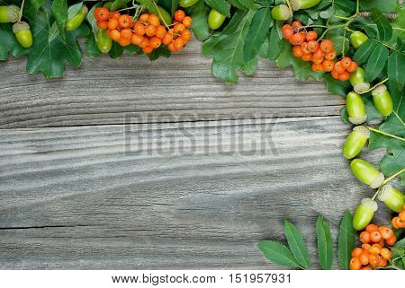 border of green oak leaves acorns and scarlet bunches of rowan on an old wooden board