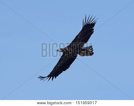 White-tailed eagle (Haliaeetus albicilla) in flight with blue skies in the background