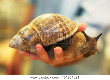 Giant African snail in male hands. Achatina fulica.