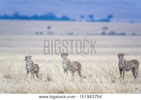 three adult cheetahs hunting Masai Mara National Reserve Kenya East Africa