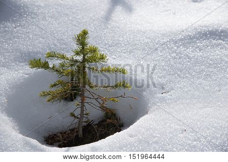 New evergreen peeking out of fresh snow.