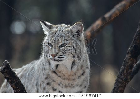 Lynx cat with an unhappy expression on his face.
