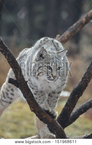 Lynx cat climbing over a fallen tree on the ground.