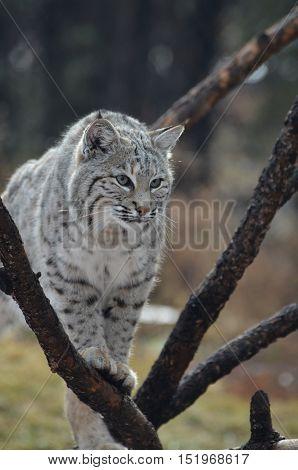 Lynx cat climbing through a fallen tree branch.