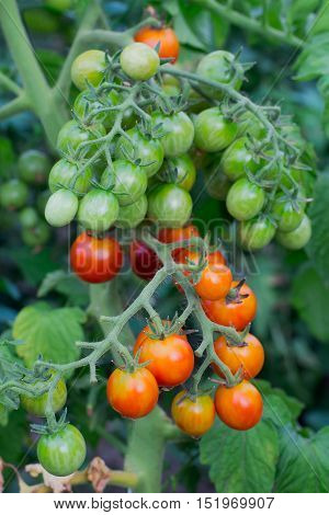 lot of little red and green unripe tomatoes on branch
