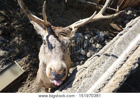 An Image Of A Deer With Big Antlers Showing Its Tongue ,Eating And Looking