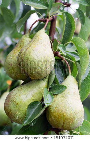several wet pear fruit on a tree branch after rain