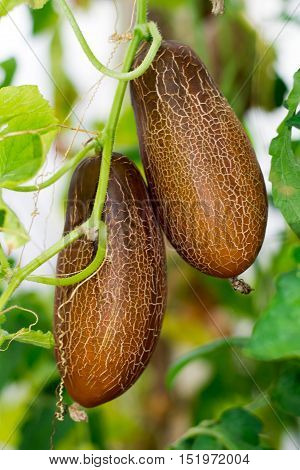 bush with two large brown overripe cucumbers on a branch for growing seeds