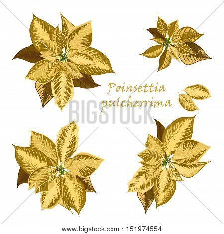 Set of Poinsettia flowers in golden color - Christmas symbols. Vector illustration