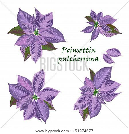 Set of Poinsettia flowers in violet color - Christmas symbols. Vector illustration