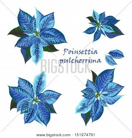 Set of Poinsettia flowers in blue color - Christmas symbols. Vector illustration