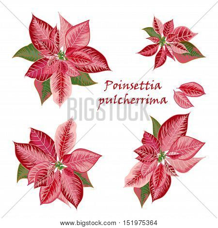 Set of Poinsettia flowers in pink red color - Christmas symbols. Vector illustration