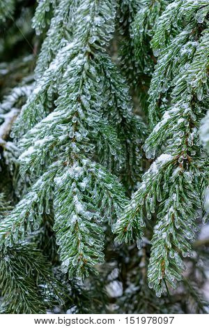 Winter Forest, Spruce Branches Covered With Snow.
